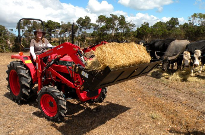 Feeding the cows with a Kubota L1-24DT, using the 4-in-1 bucket to transport regular bales.
